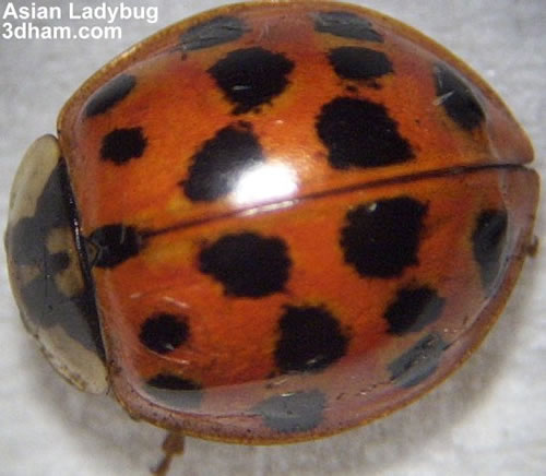 This ladybug has tons of spots.
