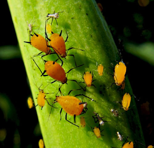Have You Wondered: What Do Ladybugs Eat?