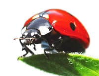 Articles covering the life cycle of a Ladybug including fun facts, anatomy and more.