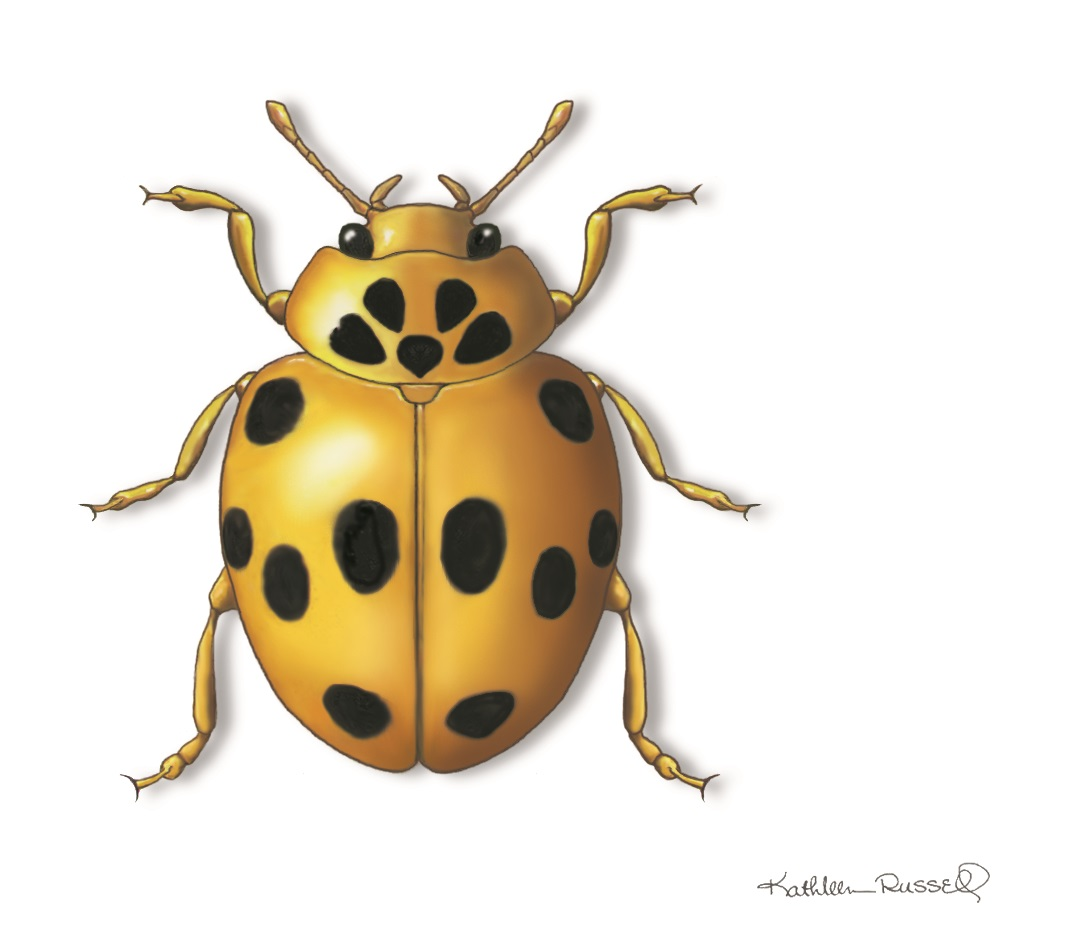 Ladybugs clipart spot, Ladybugs spot Transparent FREE for download ... | 930x1065